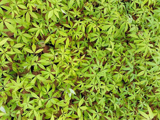 木棉花适合在哪里种植?木棉花种植适合温度