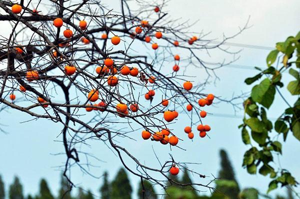 野柿子有哪些价值?野柿子的发展前景