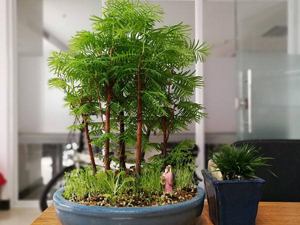 水杉盆景什么时候换盆?水杉盆景的养殖方法
