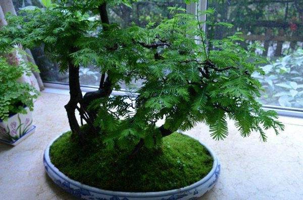 水杉树盆景怎么养?水杉盆景养殖方法