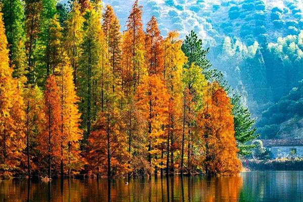 水杉树怎样栽培?水杉栽培管理技术