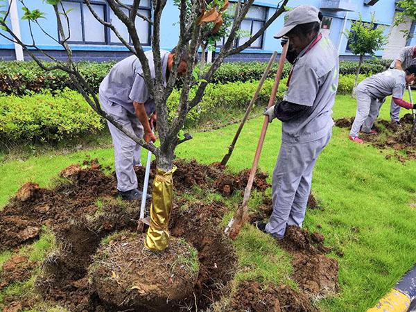 苗木养护期一般多久?苗木养护注意事项