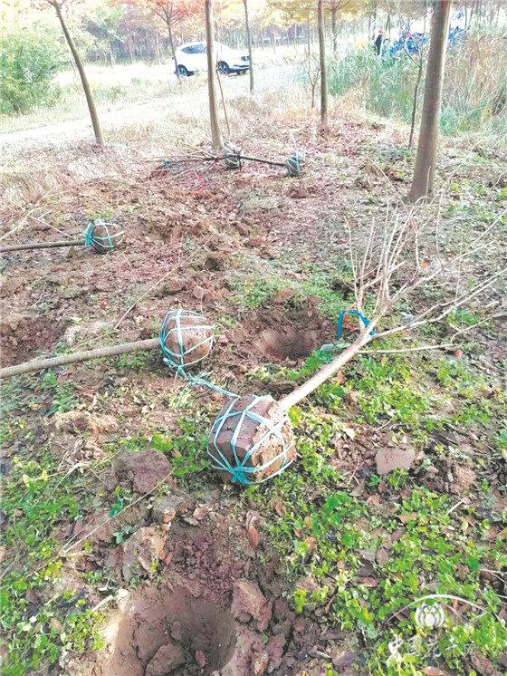 提升苗木品质需注重移栽细节