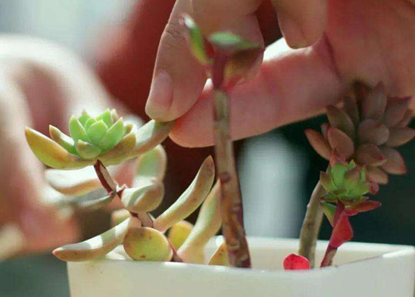 多肉巧摘叶子控水养很快就能爆侧芽