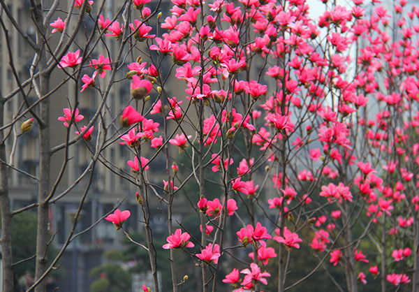 适合庭院种植的景观树