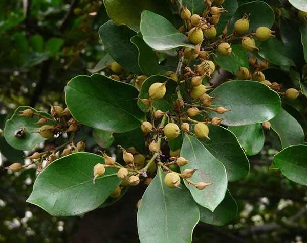 蚊母树什么时候开花?中华蚊母树花期介绍