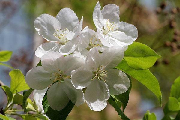 八棱海棠花