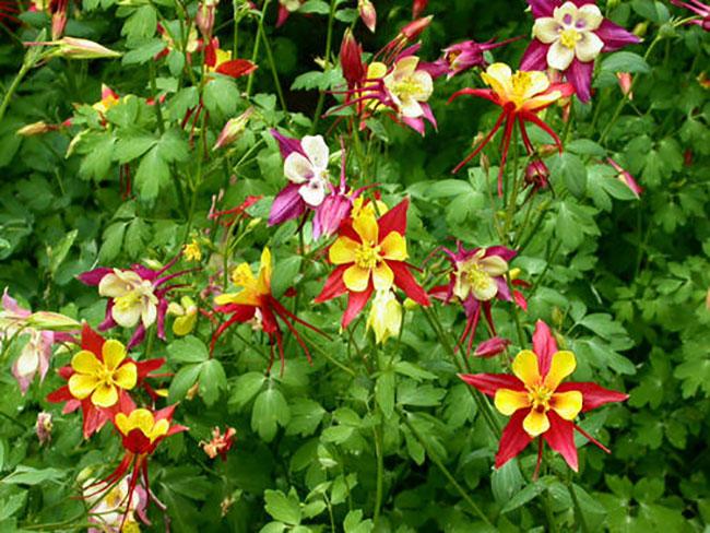 北方庭院种植耧斗菜,耐寒又美丽