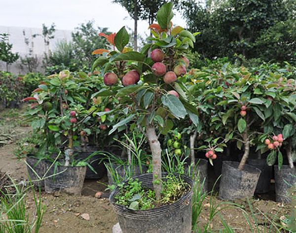 八棱海棠树可以盆栽吗?八棱海棠盆栽种植方法