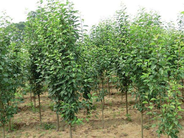 八棱海棠树多少钱一棵?八棱海棠树苗价格行情
