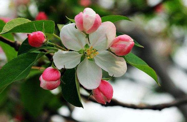 八棱海棠树什么季节开花?八棱海棠花期时间