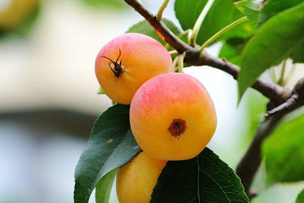 八棱海棠几年结果?八棱海棠树的生长结果习性
