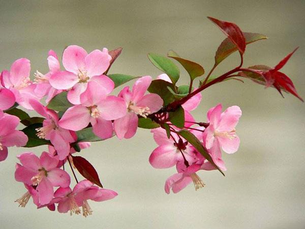 八棱海棠什么时候种植?八棱海棠树种植时间方法