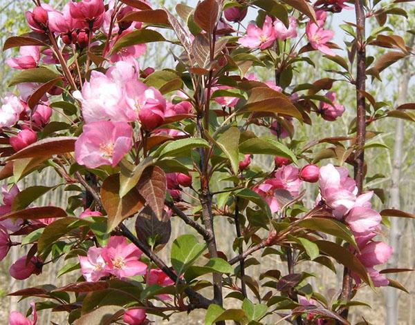 绚丽海棠的前景如何?海棠绿化树市场分析