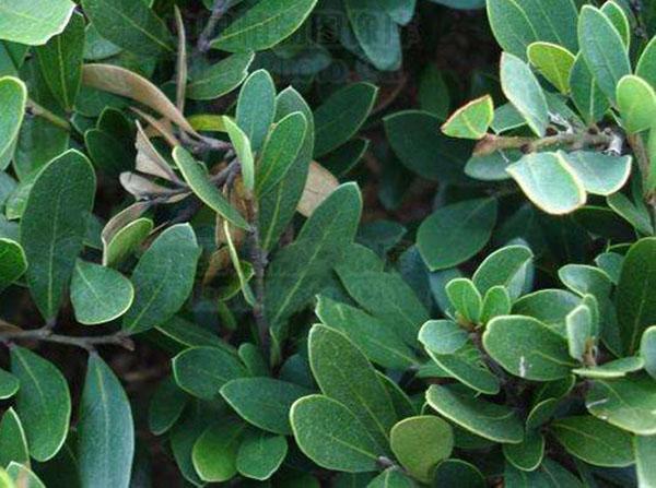 蚊母树的作用有哪些?蚊母树的园林用途