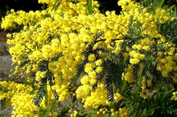 银荆树种几年开花?银荆树花期介绍