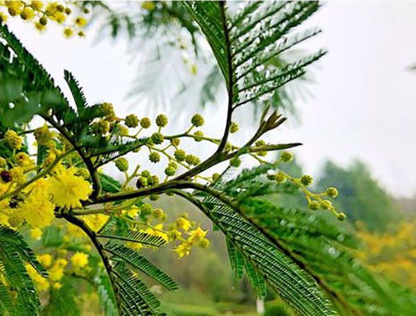 银荆树怎么种?银荆的养殖方法简介