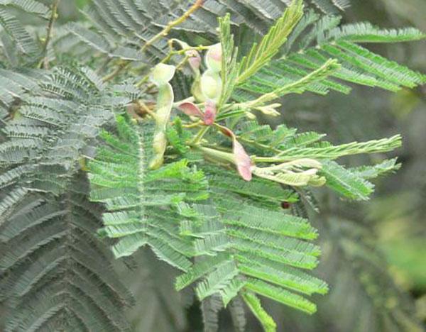 银荆树的种子怎么培育?银荆管理养护方法