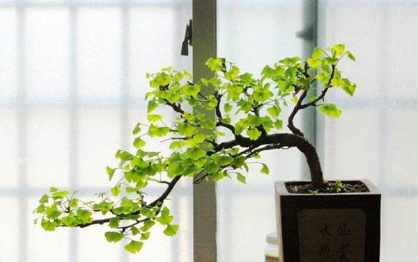观叶盆景常见植物有哪些?十大观叶盆景种类介绍