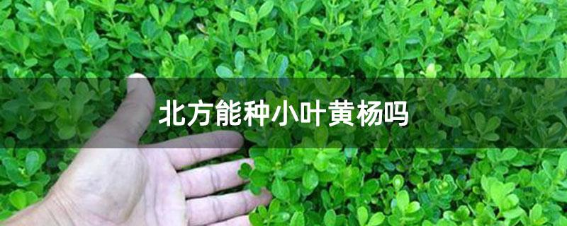 北方能种小叶黄杨吗