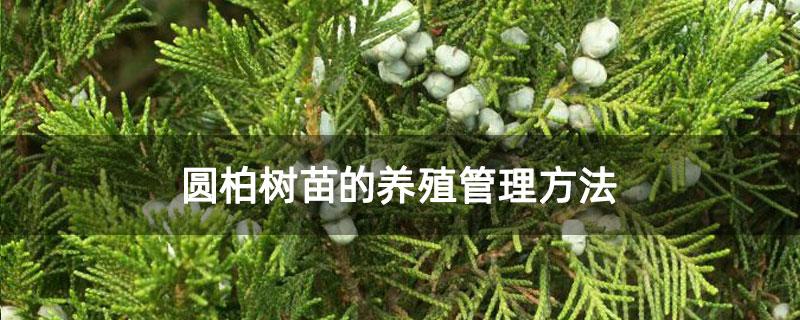 圆柏树苗的养殖管理方法