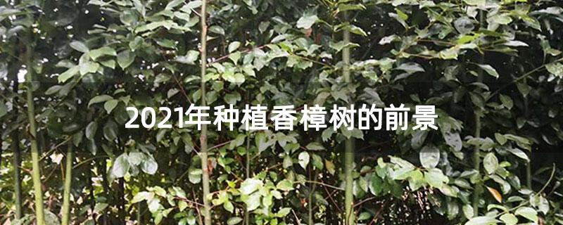 2021年种植香樟树的前景