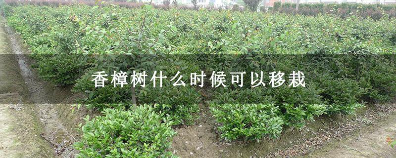 香樟树什么时候可以移栽
