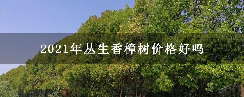 2021年丛生香樟树价格好吗