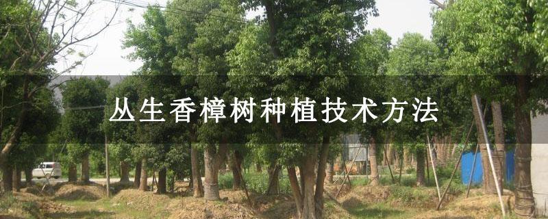 丛生香樟树种植技术方法