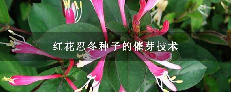 红花忍冬种子的催芽技术