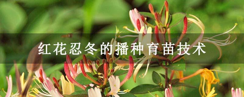 红花忍冬的播种育苗技术