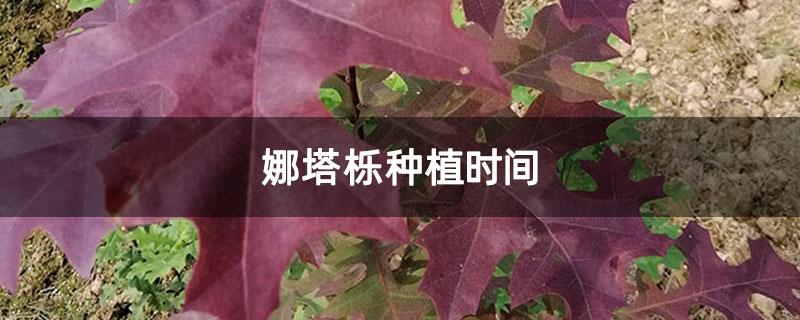 娜塔栎种植时间