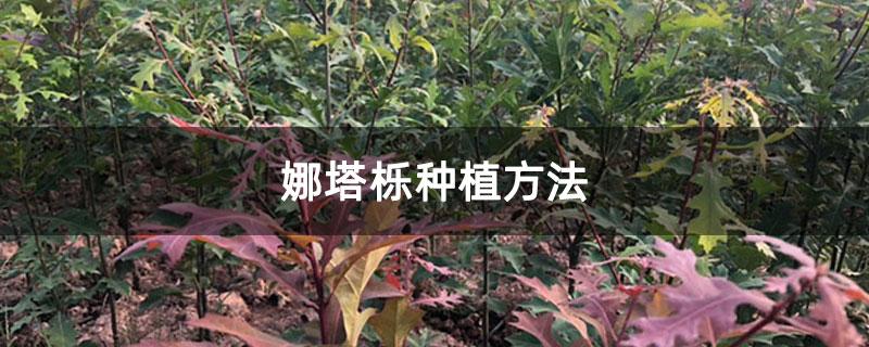 娜塔栎种植方法