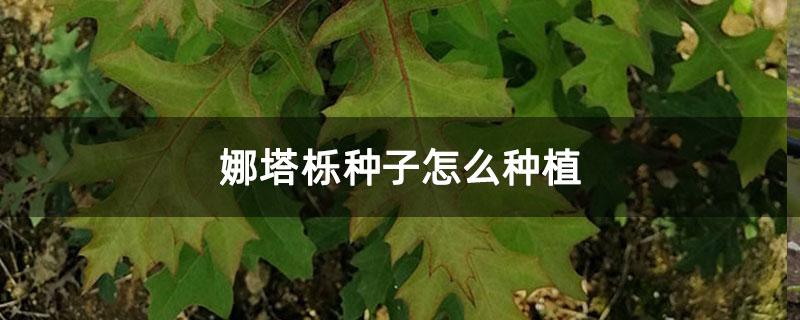 娜塔栎种子怎么种植