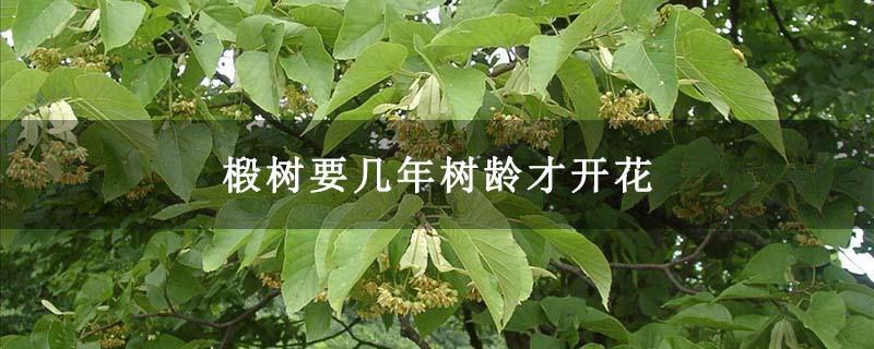 椴树要几年树龄才开花