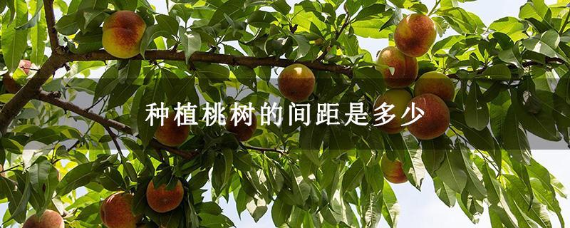 种植桃树的间距是多少