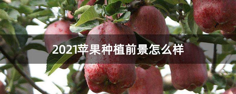 2021苹果种植前景怎么样