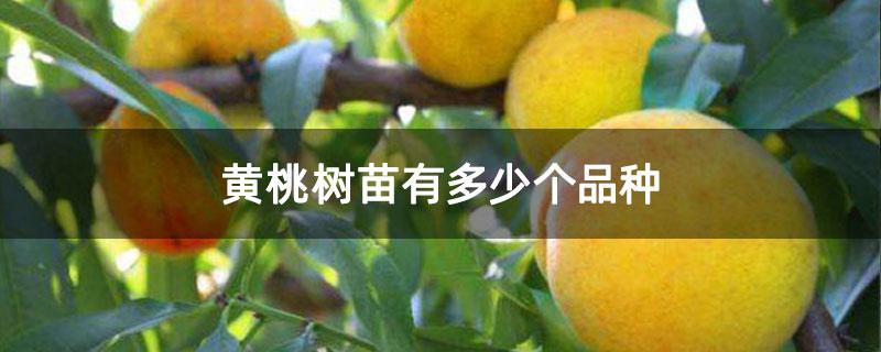 黄桃树苗有多少个品种