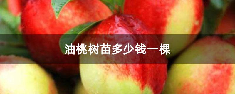 油桃树苗多少钱一棵