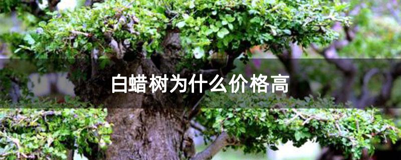 白蜡树为什么价格高