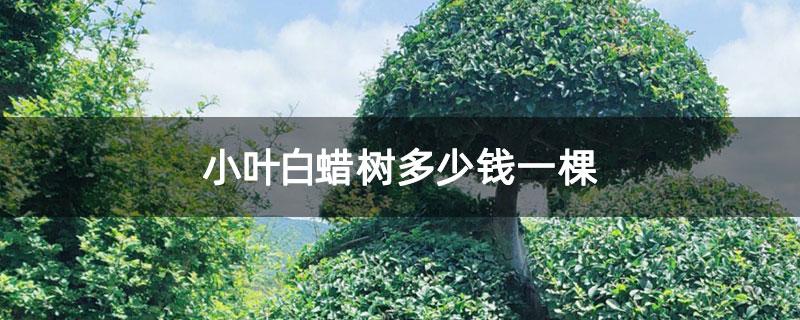 小叶白蜡树多少钱一棵