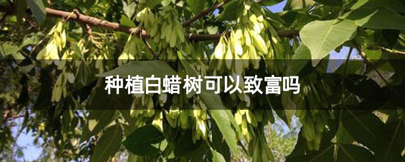 种植白蜡树可以致富吗