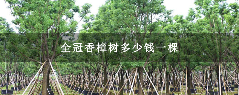 全冠香樟树多少钱一棵