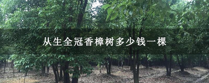 从生全冠香樟树多少钱一棵