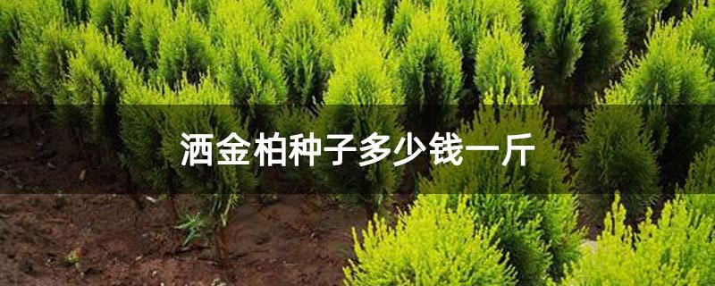 洒金柏种子多少钱一斤