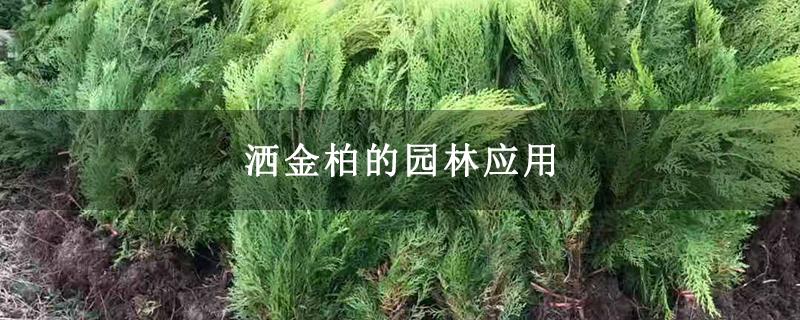 洒金柏的园林应用