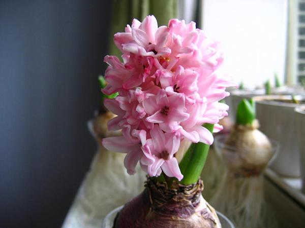 5种适合春节的球根花卉