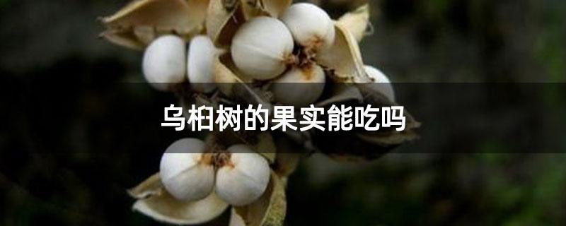 乌桕树的果实能吃吗