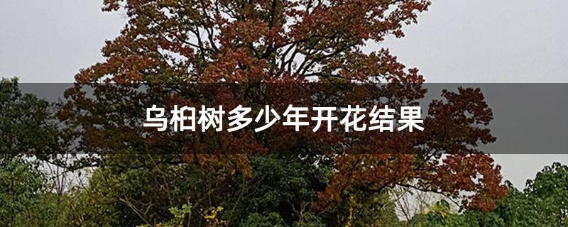 乌桕树多少年开花结果