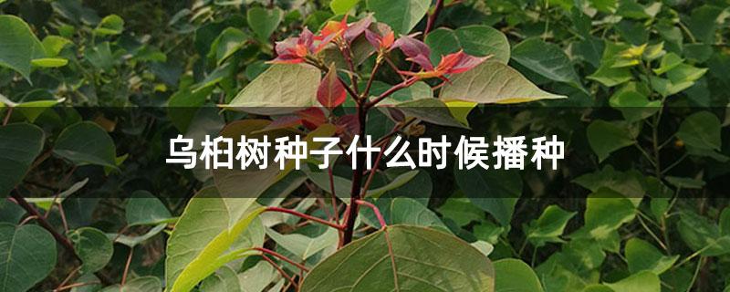乌桕树种子什么时候播种
